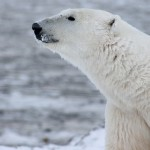 polar bear, sniffing the air